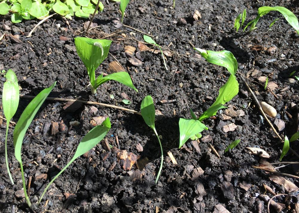 Bärlauch im Garten selber angebaut